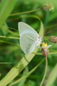 Gulugufe butterfly